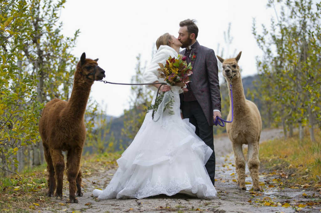 Hochzeit auf der Alpaka-Farm im Cembratal. Ilaria und Silvio küssen sich und neben ihnen zwei ihrer Alpaka-Tiere. Foto: Silpaca für Noromaniac