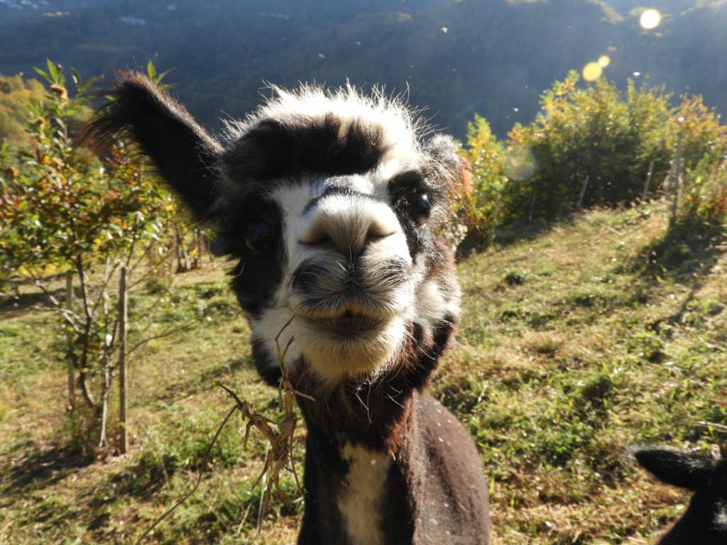 Amy de Oro, so heißt das Alpaka auf dem Foto, das neugierig in die Kamera schaut. Foto: Silpaca für Noromaniac, Katrin Walter