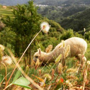 Alpaka beim Grasen auf der Hochebene im Cembratal. Foto: Silpaca für Noromaniac, Katrin Walter