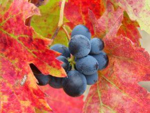 Weinlaub im Herbst mit einer vergessenen Traube: Farben wie in der Noro Silk Garden 341 und 4ply 341