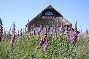Reetgedecktes Haus an grüner Wiese mit violett-blühenden Stauden