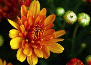 Gelb-organgfarbene Chrysanthemen bei Noromaniac als Symbol für die Sonne. Foto: Pixabay