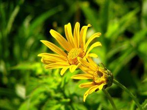 Gelbe Chrysanthemen bei Noromaniac als Symbol für die Sonne. Foto: Pixabay