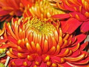 Organge-gelbe Chrysanthemen bei Noromaniac als Symbol für die Sonne. Foto: Pixabay