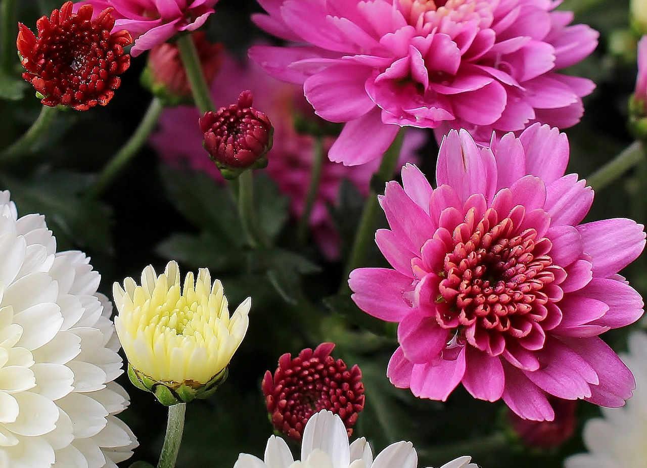 Bunte Chrysanthemen bei Noromaniac als Symbol für Noro Sekku oder das jap. Chrysanthemenfest. Foto: Pixabay