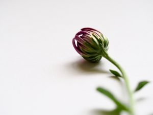 Knospe einer Chrysantheme bei Noromaniac als Symbol für Noro Sekku oder das jap. Chrysanthemenfest. Foto: Unsplash