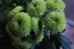 Grün-weiße Chrysanthemen bei Noromaniac als Symbol für Noro Sekku oder das jap. Chrysanthemenfest. Foto: Unsplash
