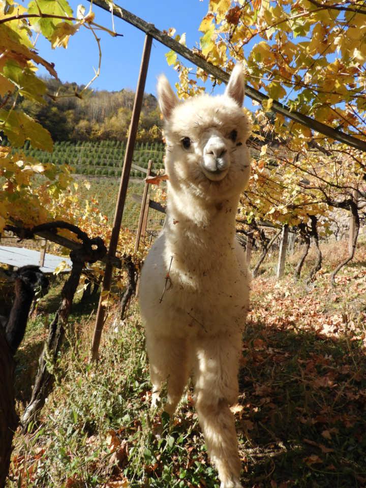 Artù, das Alpaka mit hellem Haarkleid zwischen den Rebenreihen im Herbst im Cembratal. Foto: Silpaca für Noromaniac, Katrin Walter
