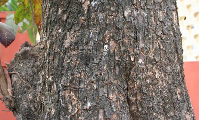 Borke des Stammes des Myrobalanen-Baums. Foto von M. Garg aus Wikipedia.