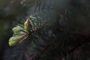 Tannenzweig im Nebel. Illustration für Holla die Waldfee Tuch aus Noro Silk Garden Sock #370. Foto: Pixabay für Noromaniac