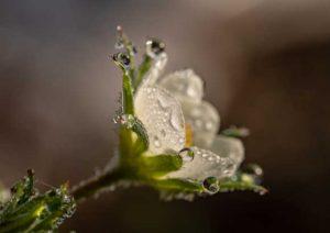 Weiße Blume mit Morgentau. Illustration für Holla die Waldfee Tuch aus Noro Silk Garden Sock #370. Foto: Pixabay für Noromaniac