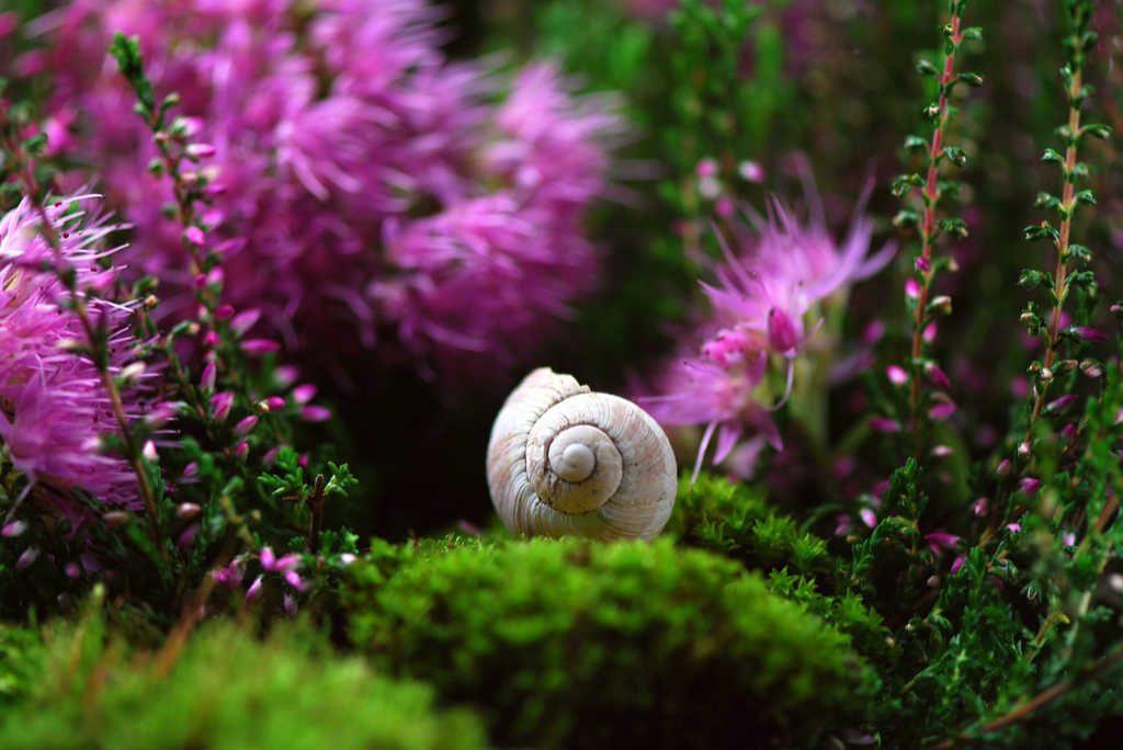 Schnecke auf Moos und Erica in pink. Illustration für Holla die Waldfee Tuch aus Noro Silk Garden Sock #370. Foto: Pixabay für Noromaniac