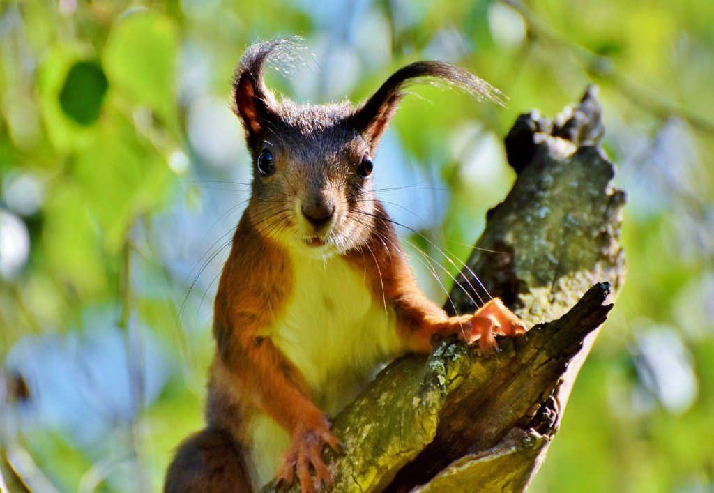 Eichhörnchen im Wald als Illustration für Holla die Waldfee Tuch aus Noro Silk Garden Sock #370. Foto: Pixabay für Noromaniac