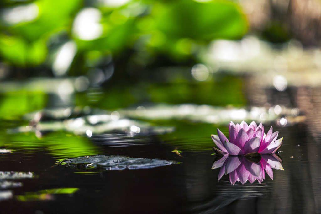 Teich mit Wasserlilie als Illustration für Holla die Waldfee Tuch aus Noro Silk Garden Sock #370. Foto: Pixabay für Noromaniac