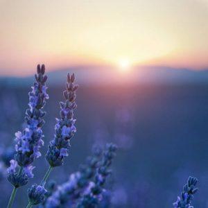 Lavendel stimmungsvoll in der blauen Stunde am Abend. Illustration für Blog-Artikel von Noromaniac - Foto von Unsplash