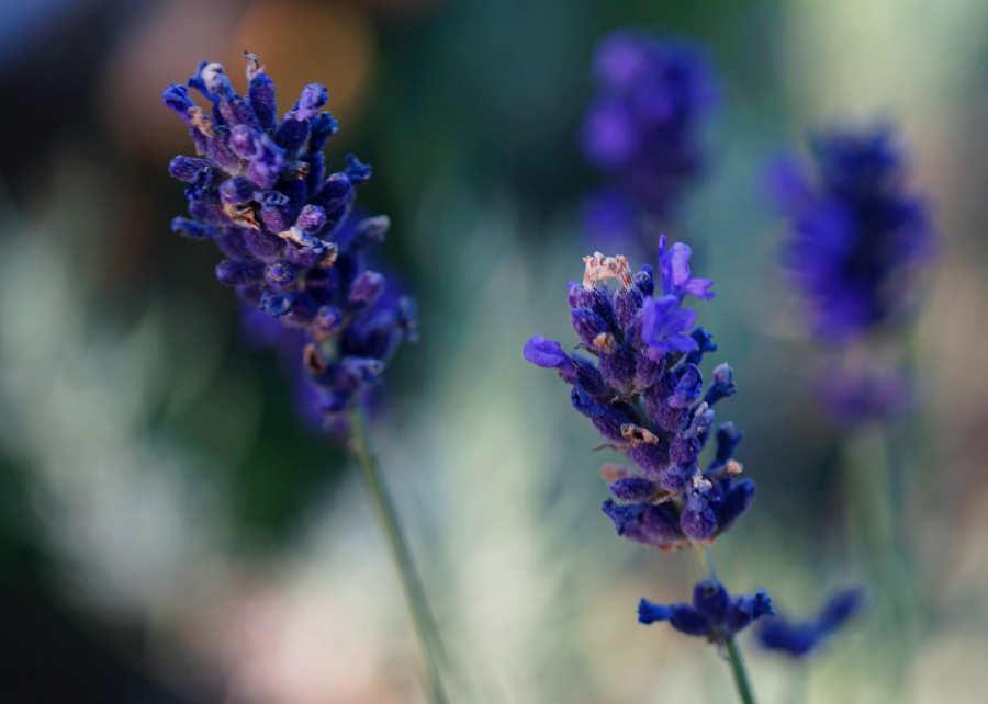 Lila Lavendel-Blüten in der Nahaufnahme. Illustration für Blog-Artikel von Noromaniac - Foto von Unsplash