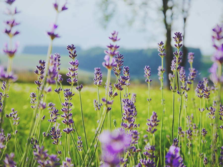 Blühender Lavendel auf einer satt grünen Wiese. Illustration für Blog-Artikel von Noromaniac - Foto von Unsplash