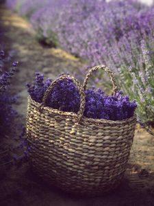 Gesammelter Lavendel in einem Weidenkorb auf einem Feld stehend. Illustration für Blog-Artikel von Noromaniac - Foto von Unsplash
