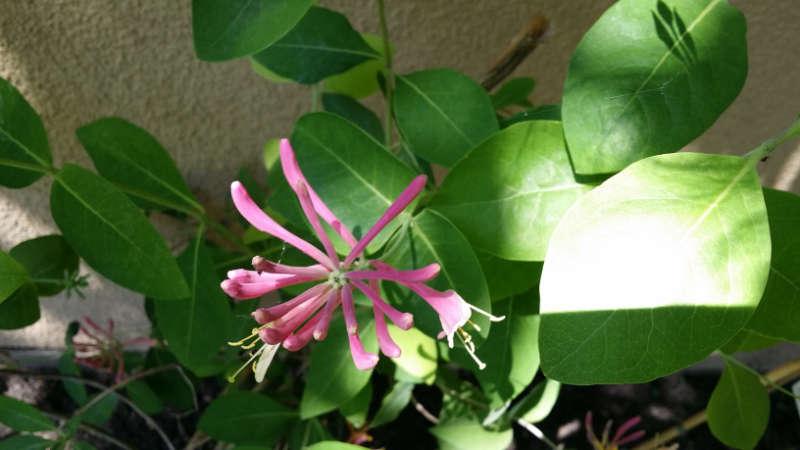 Jelängerjelieber (Lonicera caprifolium) rosa. Foto: Katrin Walter