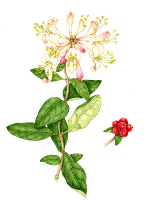 Zeichnung eines Geißblatt Jelängerjelieber (Lonicera caprifolium): Blüte, Blätter und Früchte. Foto: Pixabay
