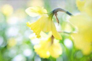 Gelbe Narzissen, typische Blume im Frühling als Illustration für die Garn-Rezension von Noromaniac