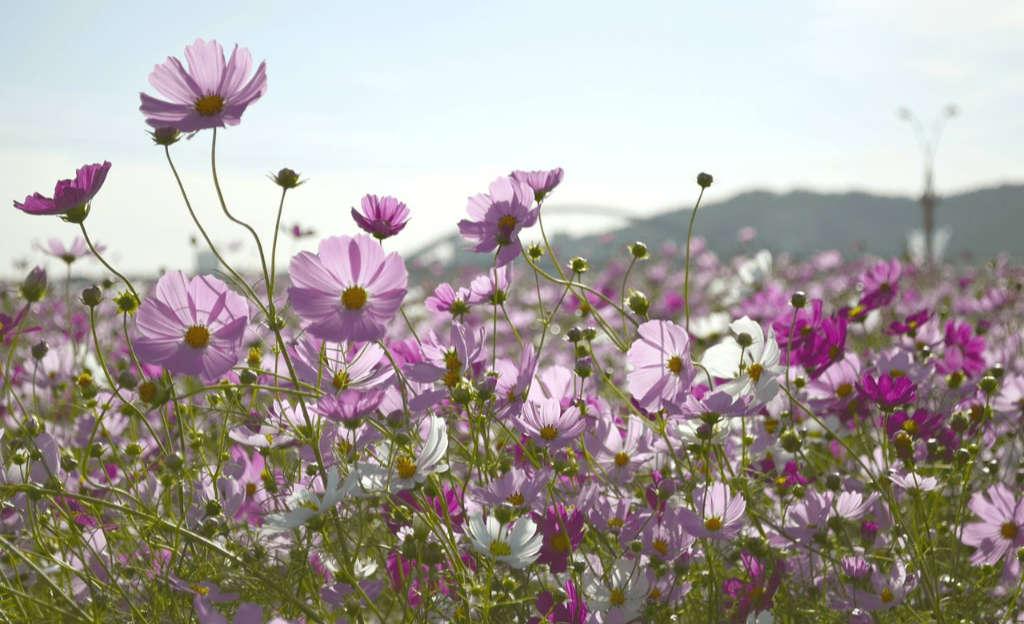 Blühende Kosmeen auf der Wiese. Naturzitat für die Jacke Daydream aus Noro Aya 4 von Noromaniac. Foto: Pixabay für Artikel von Katrin Walter – simply walter, alias Noromaniac