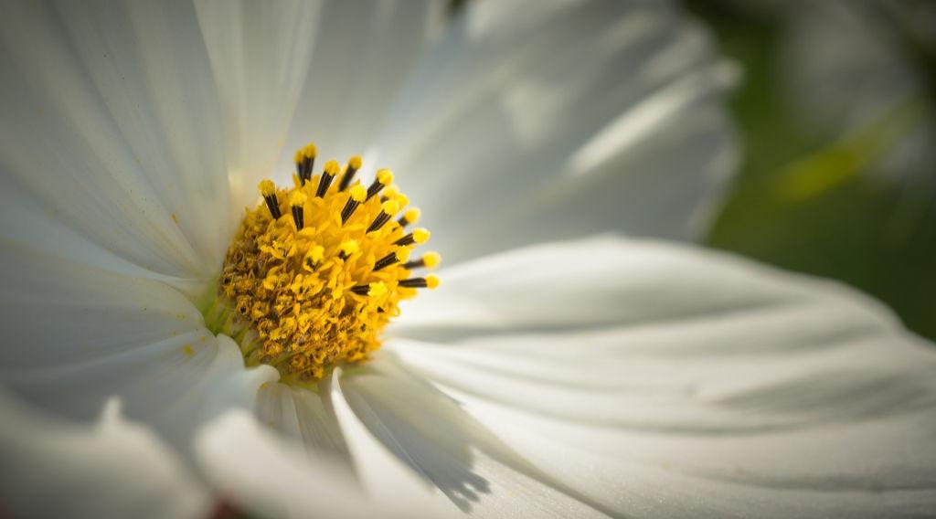 Nahaufnahme einer weißen Kosmeenblüte. Foto: Pixabay für Artikel über das Garn Noro Aya 4 von Katrin Walter – simply walter, alias Noromaniac