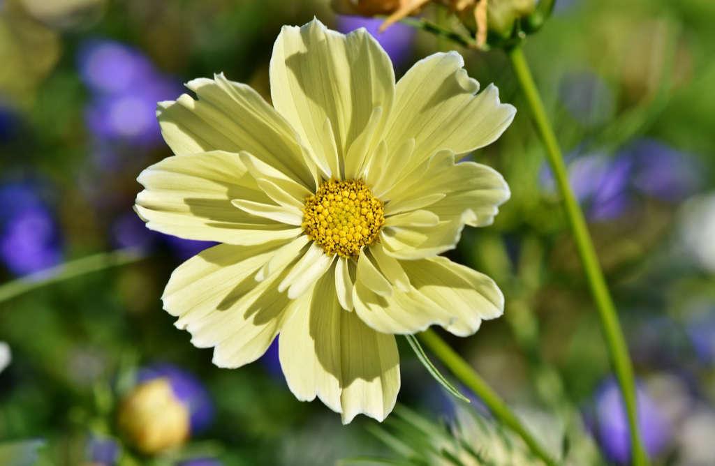Eine seltene gelb-blühende Kosmee. Foto: Pixabay für Artikel über das Garn Noro Aya 4 von Katrin Walter – simply walter, alias Noromaniac