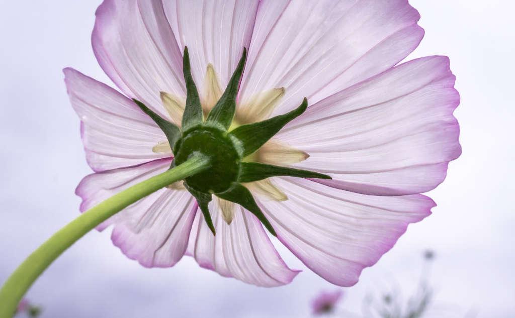 Eine zart fliederfarbene Blüte eines Schmuckkörbchens. Foto: Pixabay für Artikel über das Garn Noro Aya 4 von Katrin Walter – simply walter, alias Noromaniac