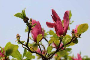 Dunkel-pinkfarbene Magnolie zur Illustration des Magnolia-Pullovers von Noromaniac.