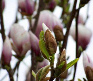 Knospe und Blüten der Magnolie zur Illustration des Magnolia-Pullovers von Noromaniac.