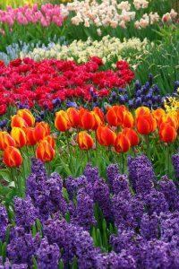 Hyazinthen und Tulpen auf einem Feld mit Frühlingsblumen / www,simplywalter.biz/Noromaniac / Foto: Pixabay