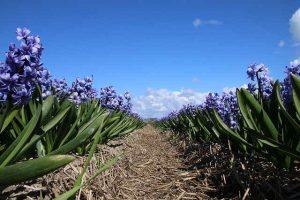 Blaue Hyazinthen auf dem Feld unter blauem Himmel. www,simplywalter.biz/Noromaniac / Foto: Pixabay