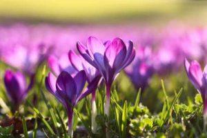 Ein Feld voller lila Krokusse in der Sonne im Frühling als Illustration für die Garn-Rezension von Noromaniac