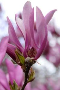 Magnolien-Blüten als Illustration für die Garn-Rezension von Noromaniac