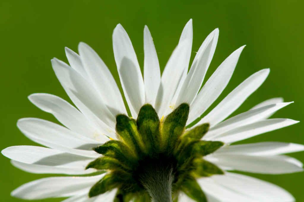Foto einer Margeritenblüte von hinten für Artikel von Noromaniac