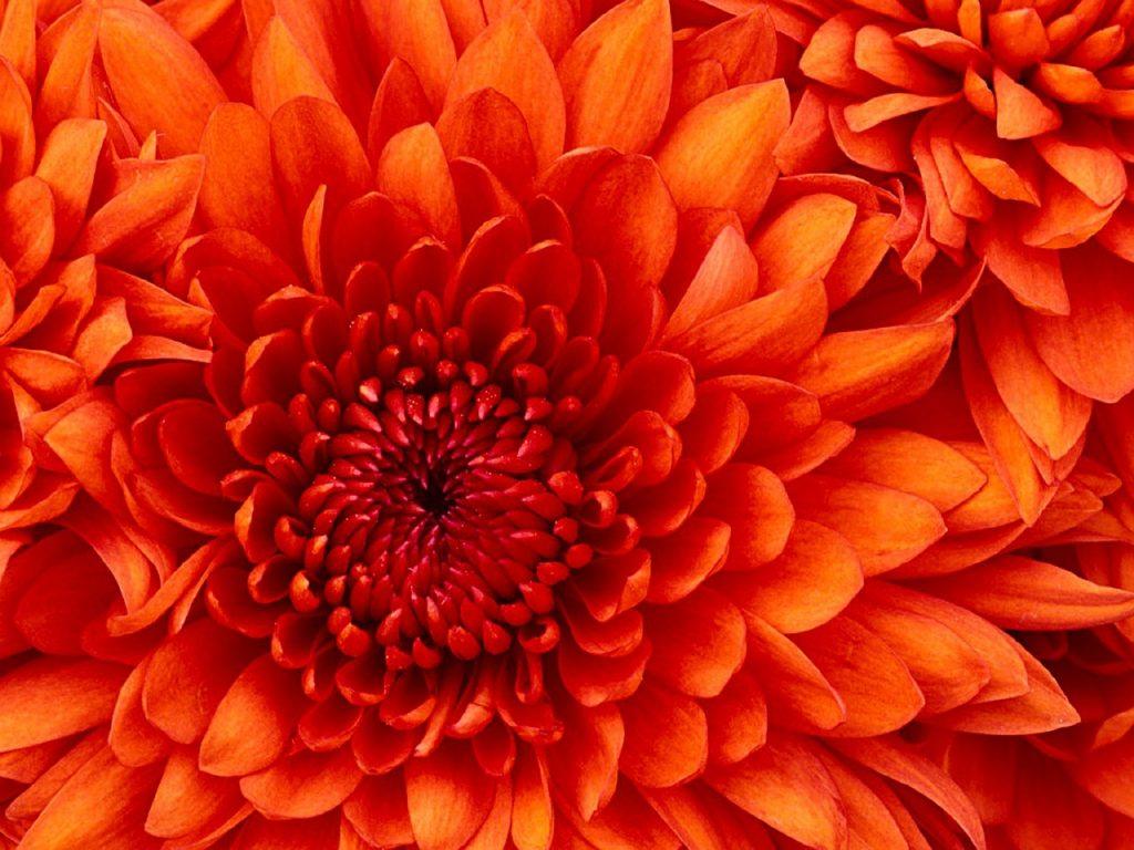 Herbstaster in knall-orange, so wie die Blüten, die in Weste aus Noro Kureyon 325 von Noromaniac reingestrickt wurden.