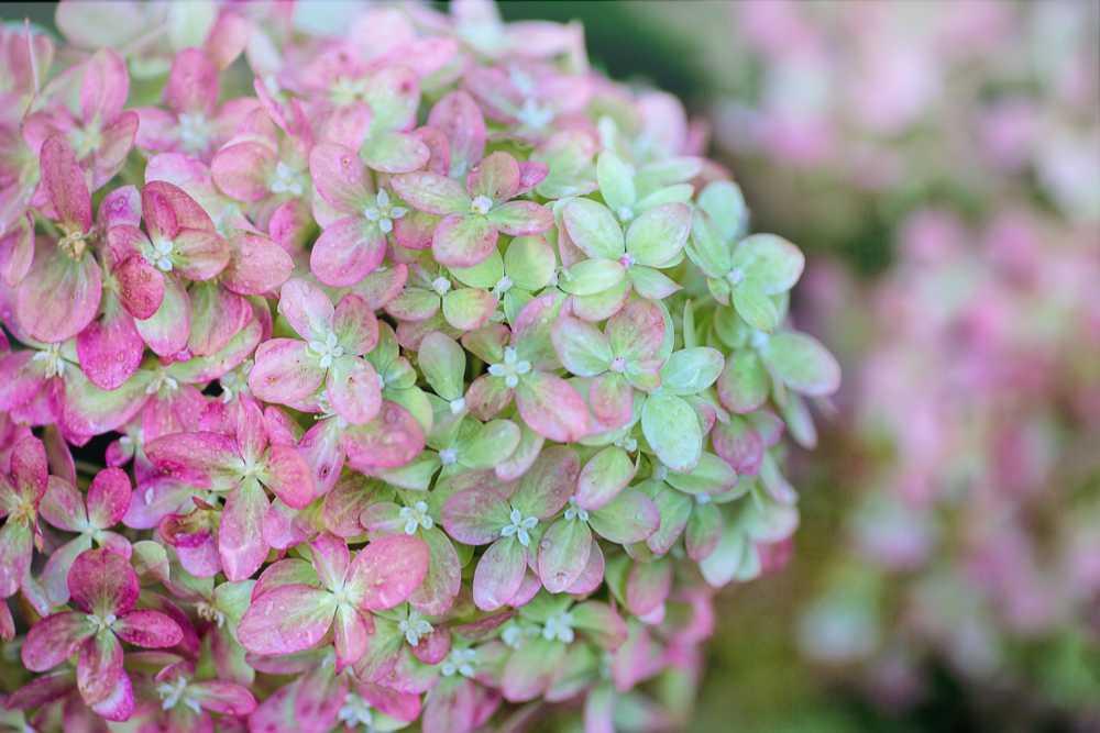 Nahaufnahme einer rosa-grünen Blüte einer Hortensie in einem Hortensiengarten. Illustration für Artikel von Noromaniac