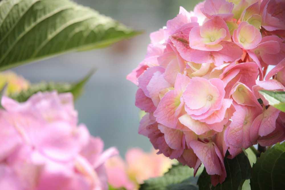 Rosafarbene Hortensien-Blüten, die innen Hellgelb sind leuchten im Licht. Illustration für Artikel von Noromaniacc