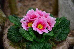 Frühlingsblüher Primel in Rosa, Pink, Gelb als Illustration für die Garn-Rezension von Noromaniac