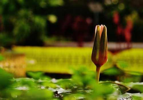 Seerose oder Wasserlilie geschlossen. Illustration für Strickprojekt Lilly von Noromaniac (Katrin Walter)